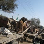 Camel walking in group