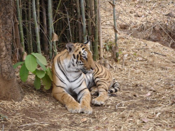 Tiger Count in India improves